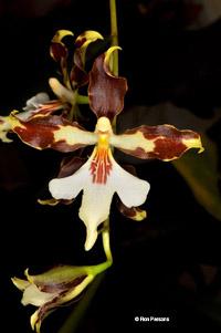 Oncidium Orchid Species