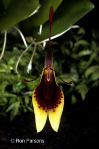 Restrepia Species Orchid Photographs