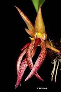 Bulbophyllum Species Orchid Photographs