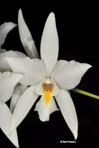 Mexican Laelia Species